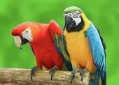 R-M7.1 X238 Diamond Painting Set Parrots 40x30cm